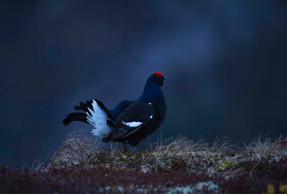 Black Grouse (1)