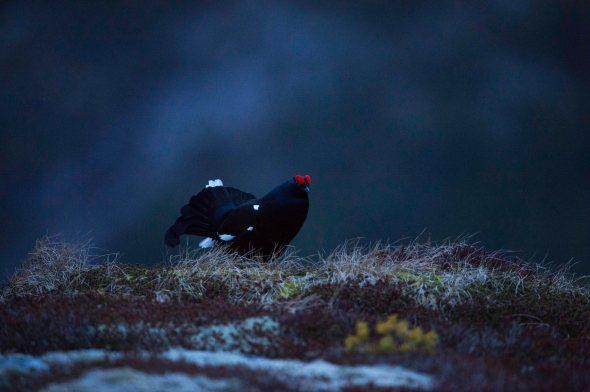 Black Grouse (2)